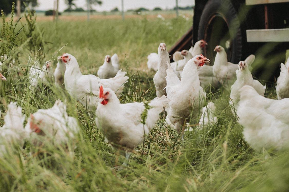 Bresse Hühner auf dem Hof von Odefey & Töchter