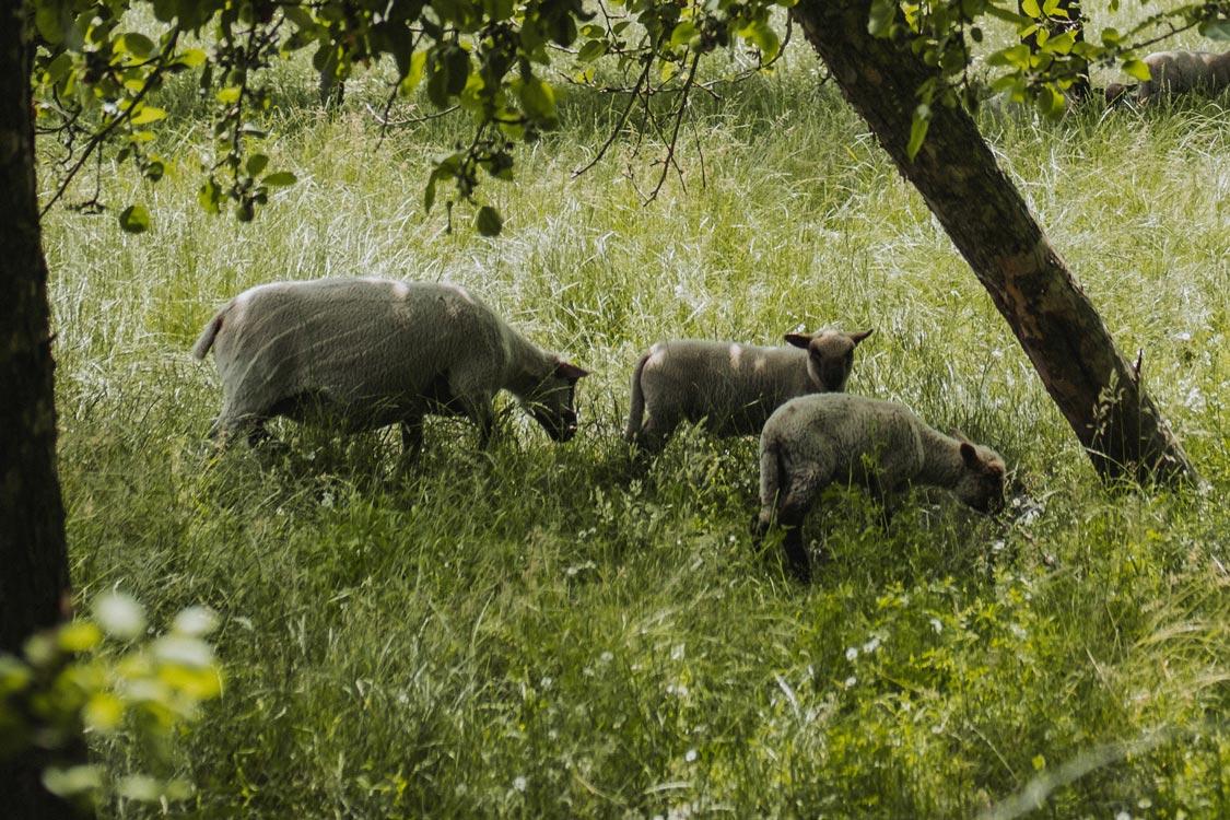 Shropshire Schafe auf dem Hof von Odefey & Töchter